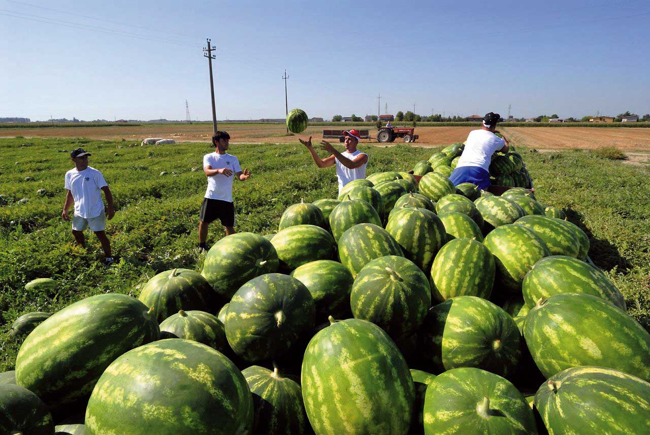 agricoltura raccolta cocomeri operai 1