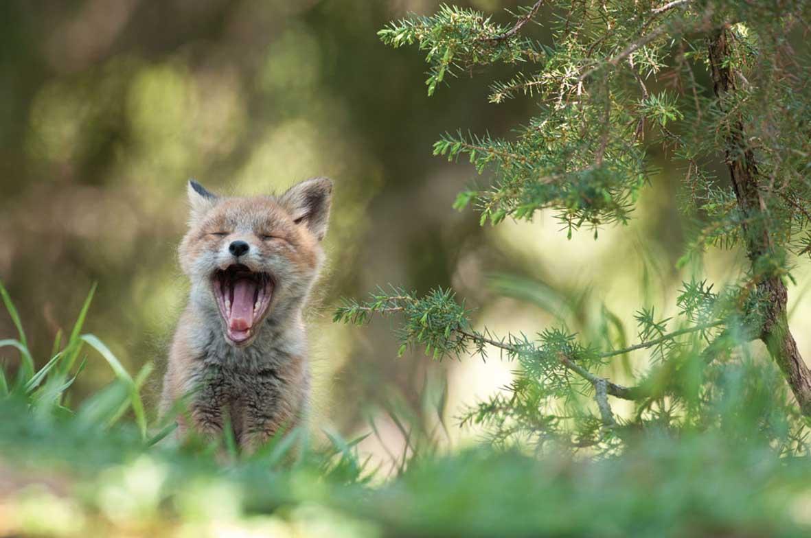 Fotonaturalisti Strix Alto Adige cucciolo di volpe Foto Carlo Dapoz 1