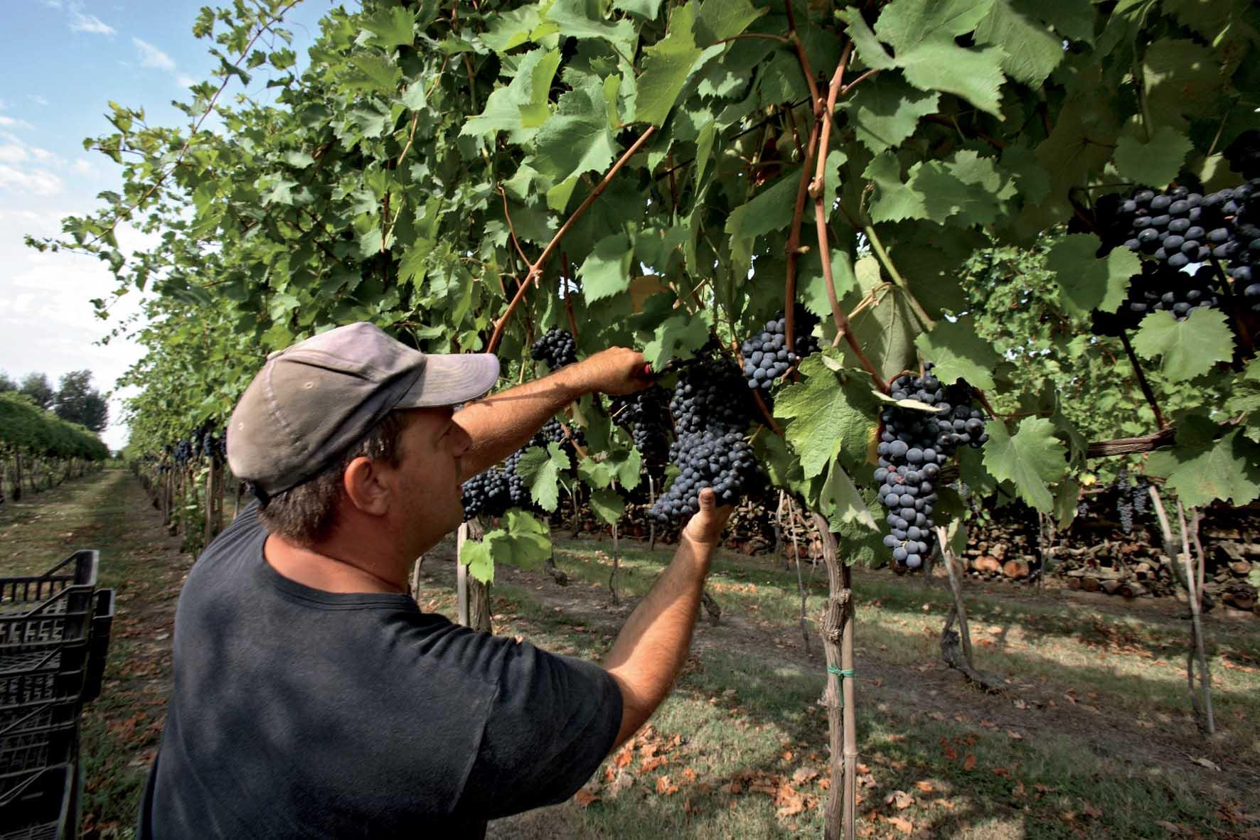 Enoteca Emilia Romagna vendemmia vigna uva nera 1
