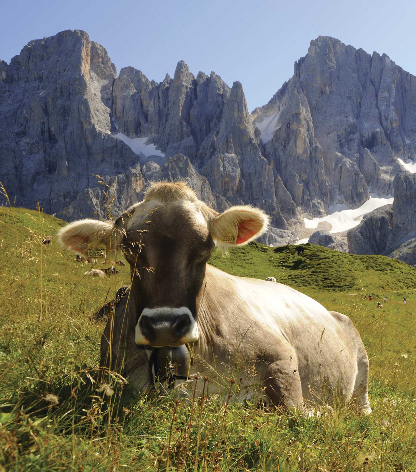 Pale di San Martino 1 mucca Foto Bazan 1