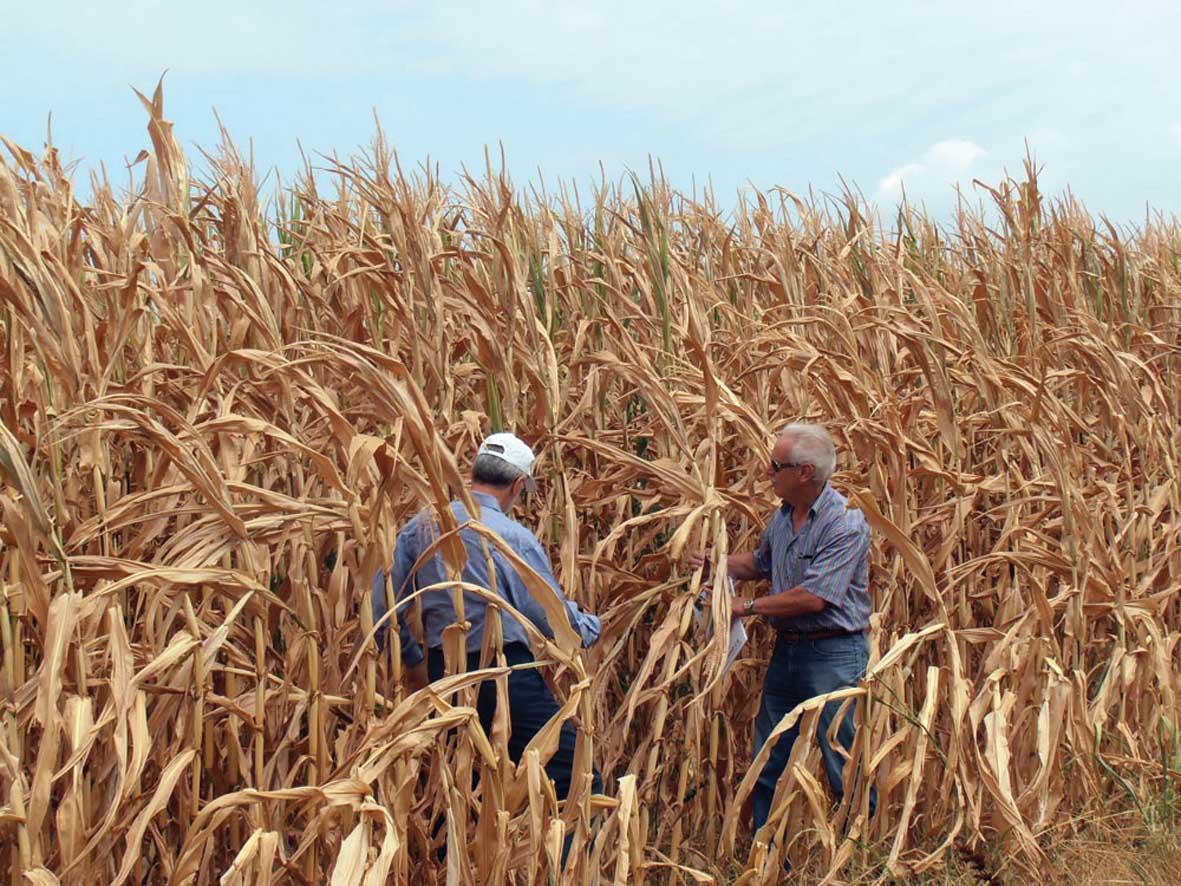 siccità condifesa Periti su campo di Mais danneggiato 1