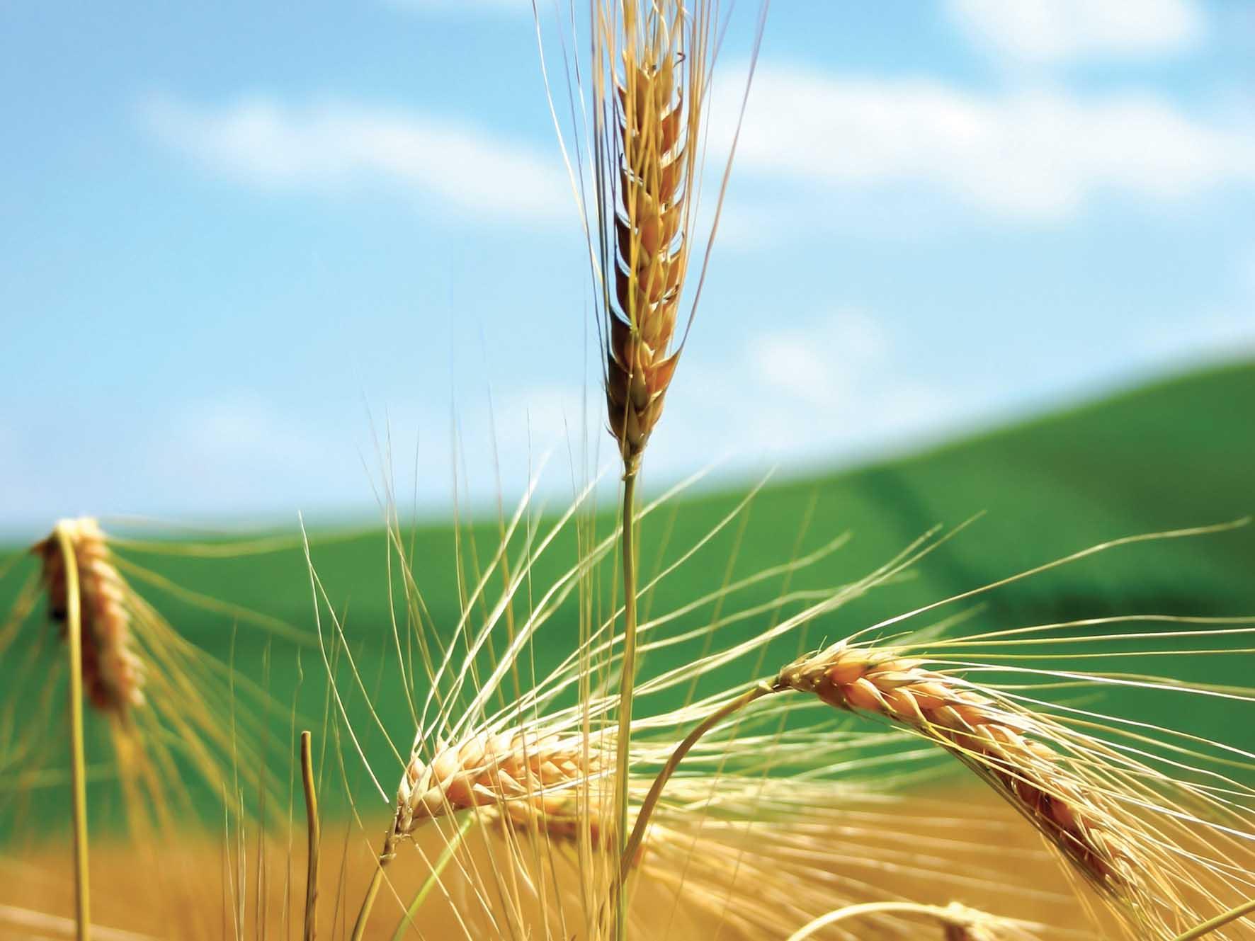 agricoltura spiga 1