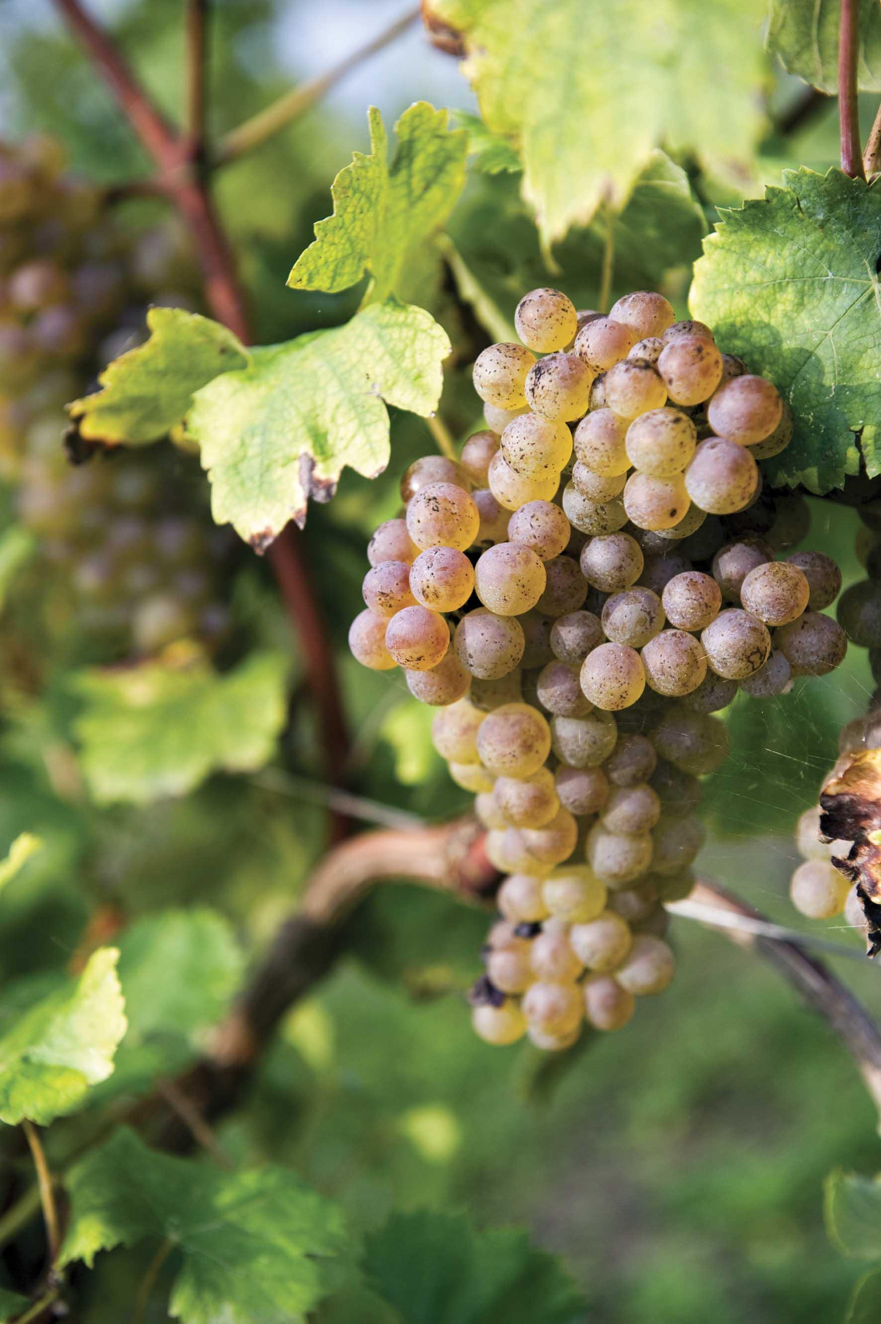 Azienda agricla la moretta grappolo uva bianca 1