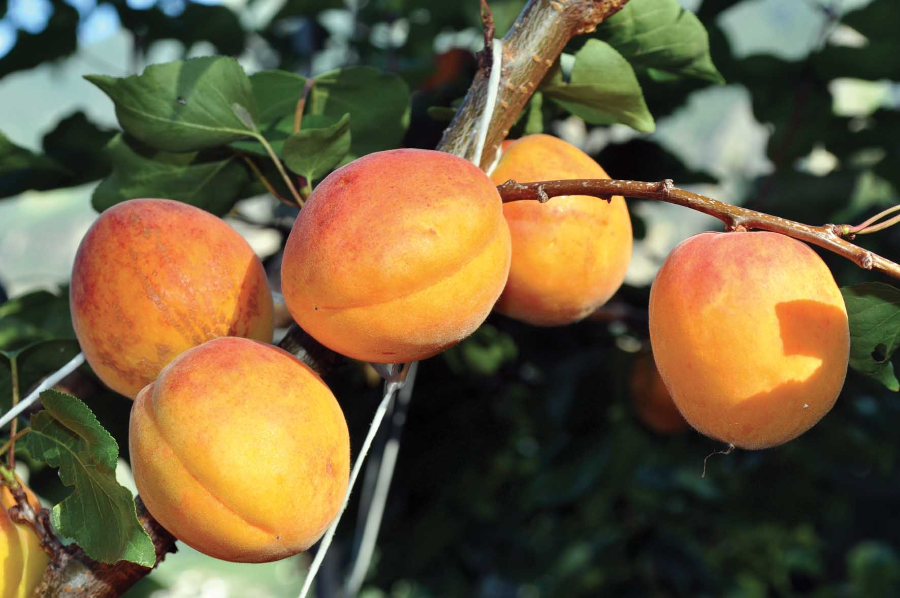 frutta-drupacee-albicocche-ilnordest