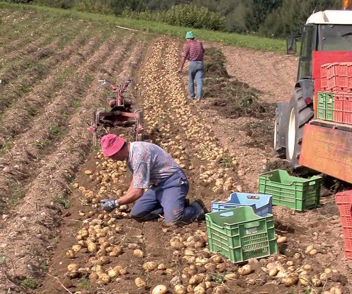 a rischio l'ortofrutta italiana patate-raccolta-campo-ilnordest