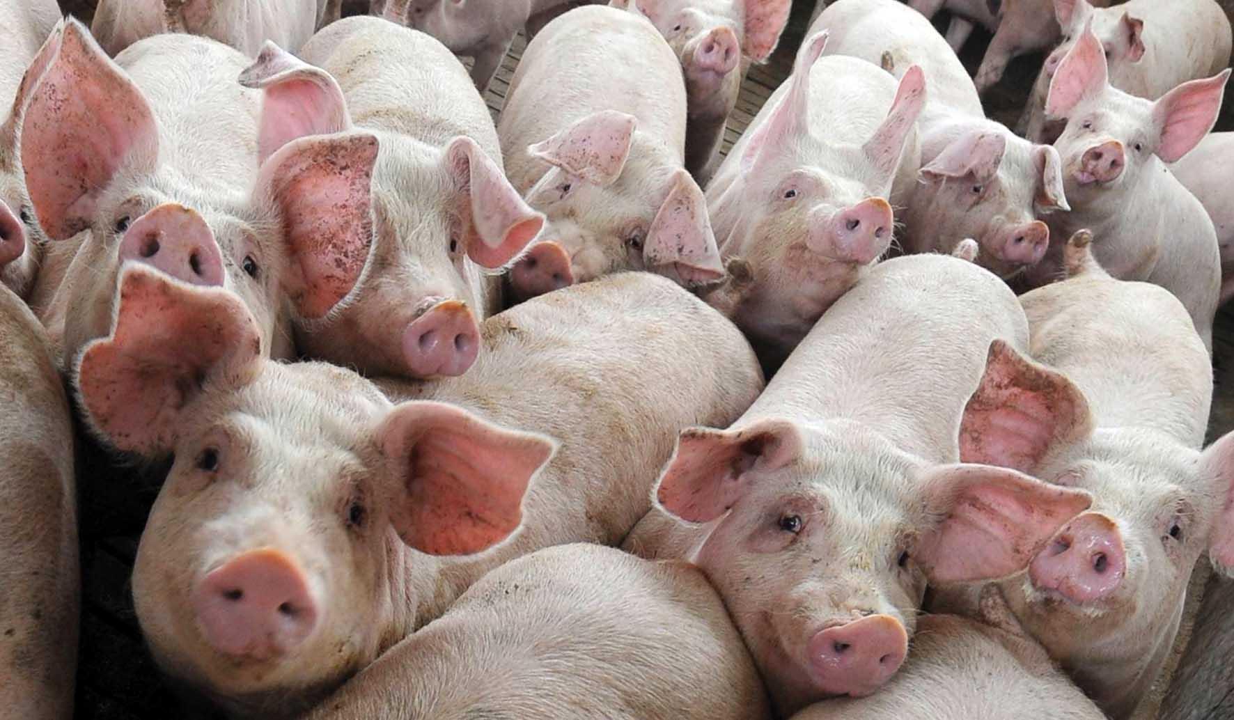 antibiotici allevamento-suini maiali-eurocarne 1