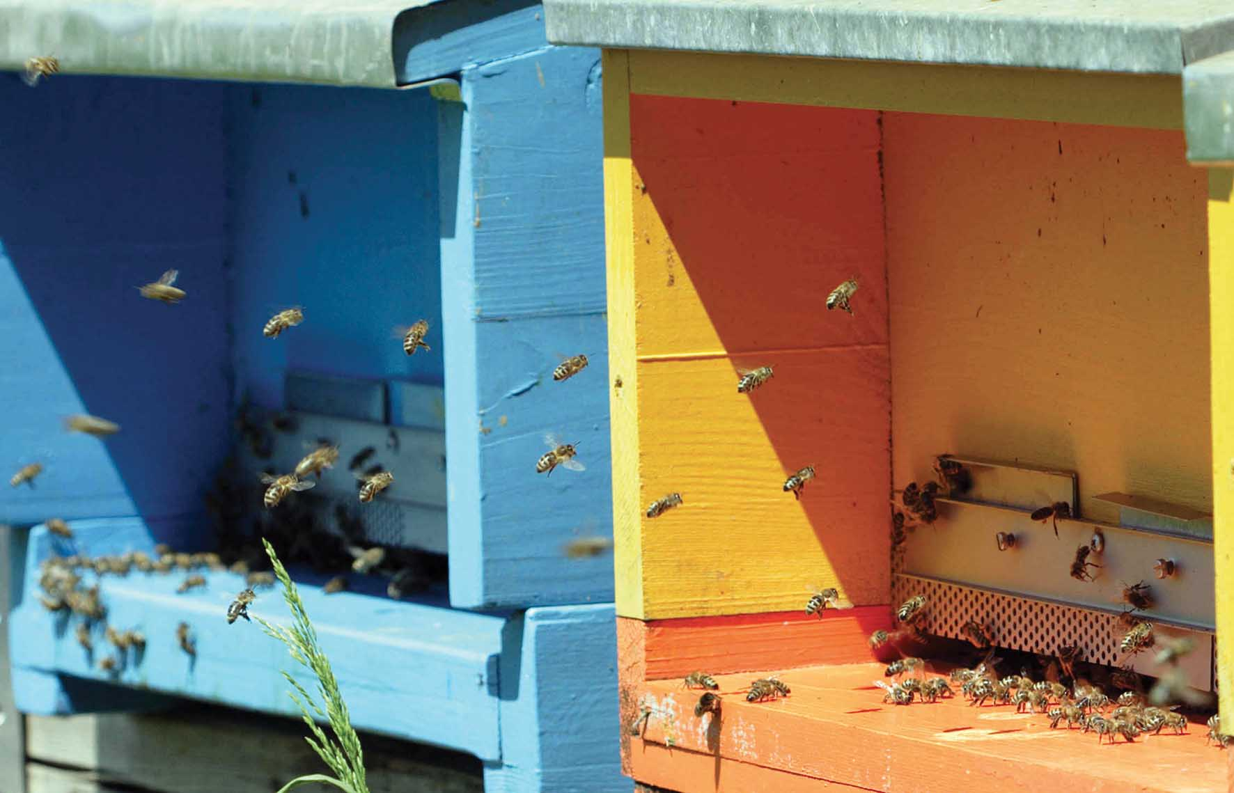 apicoltura sciame api alveare