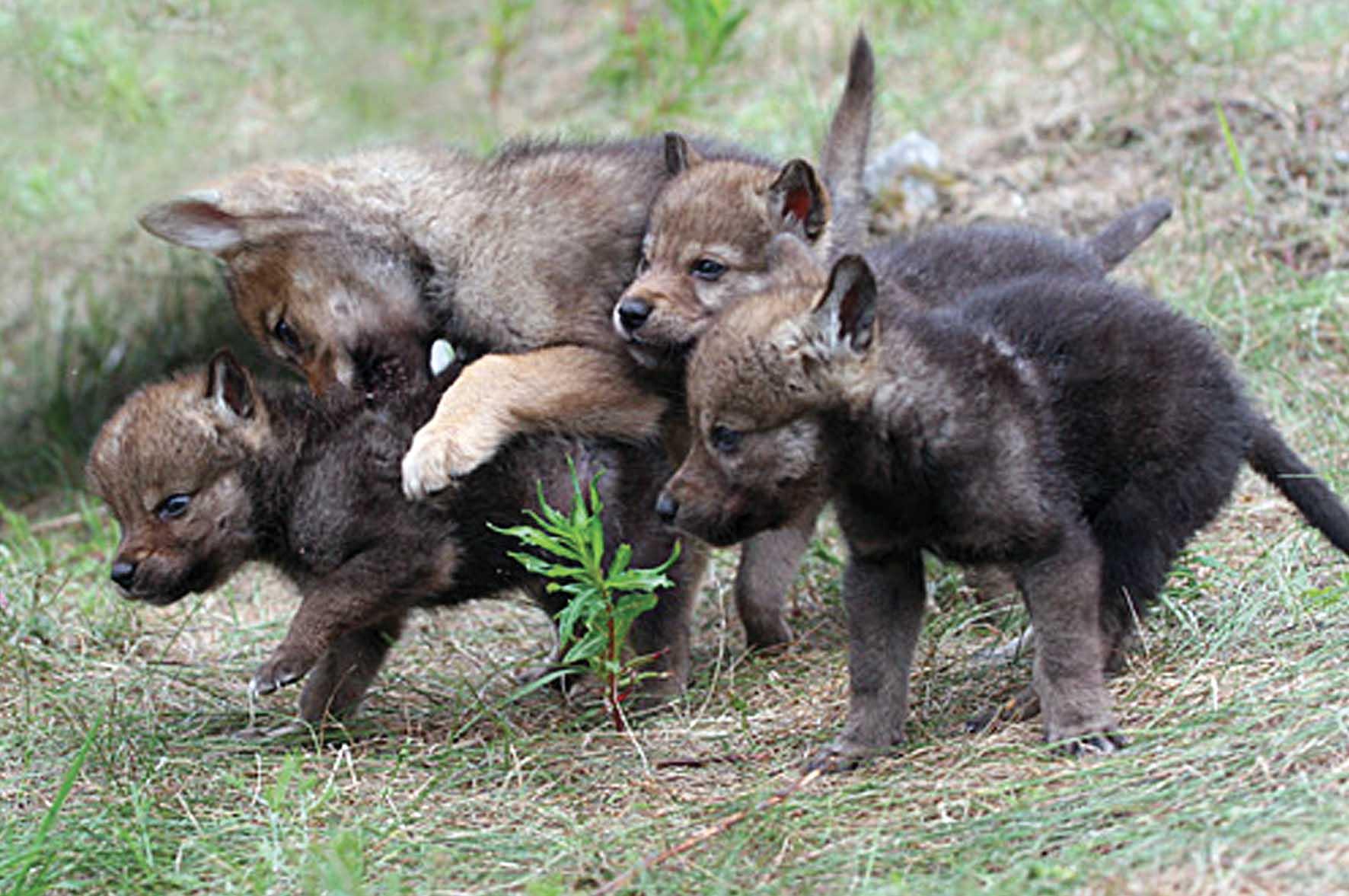 PAB cuccioli di lupo