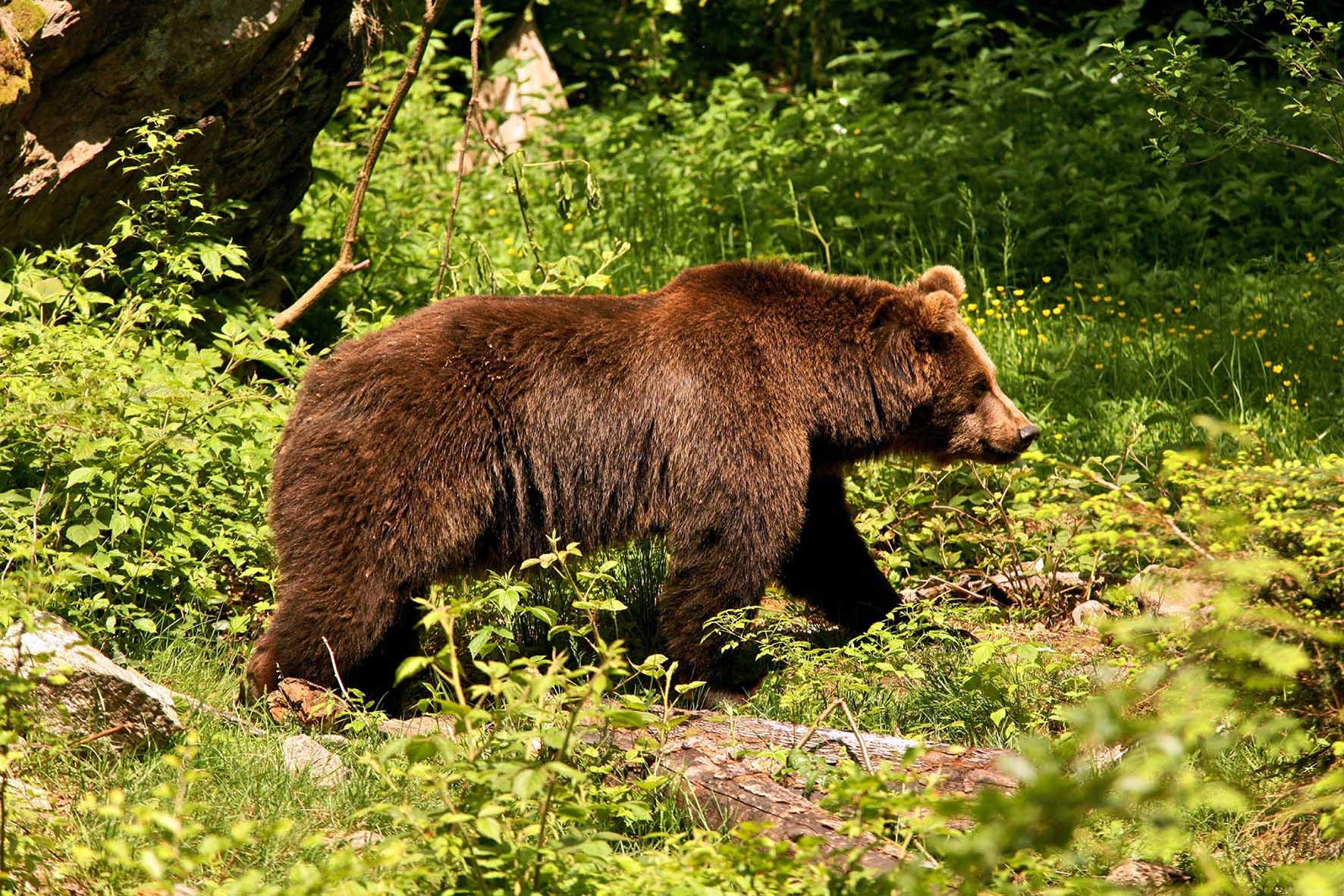 "orso m49 ""maurizio"""