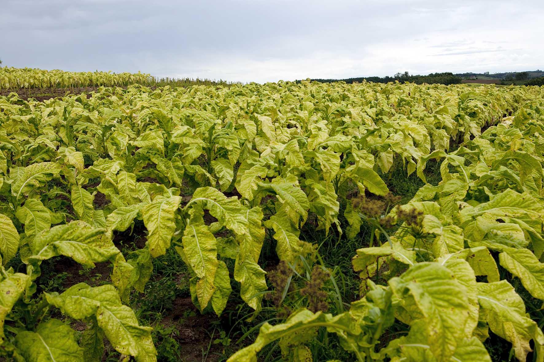 British American Tobacco BAT Italia coltivazione tabacco 1