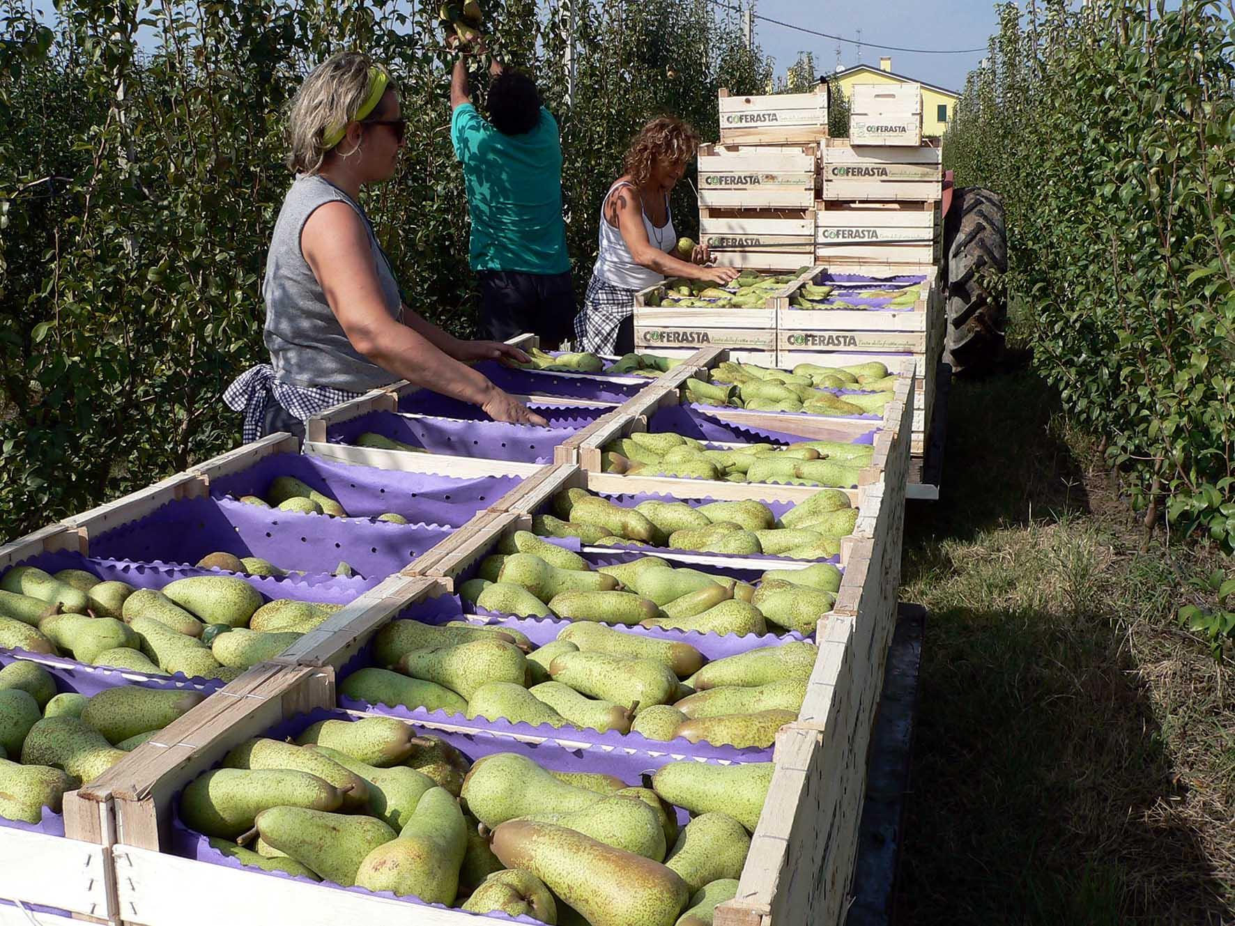 Emilia Romagna lavorazione frutta raccolta pere