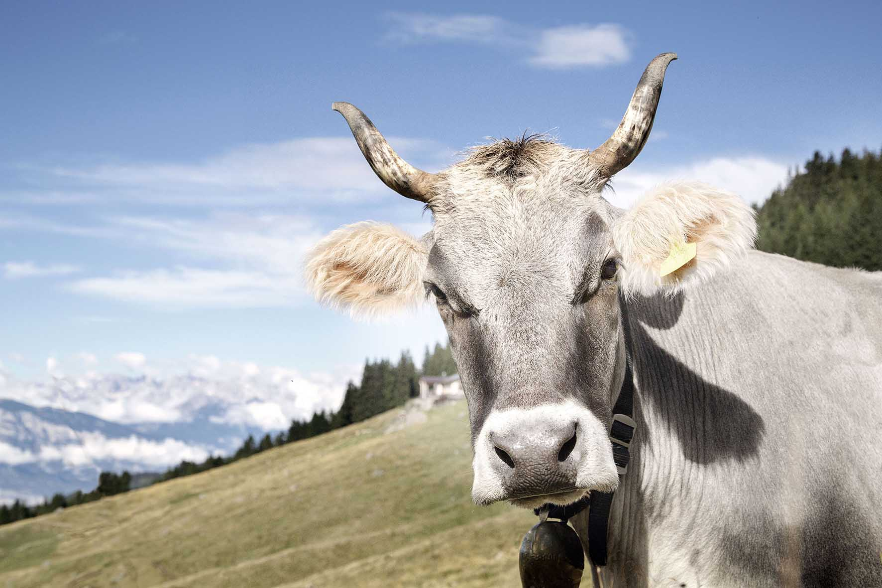 zootecnia in veneto vacca mucca primo piano26818