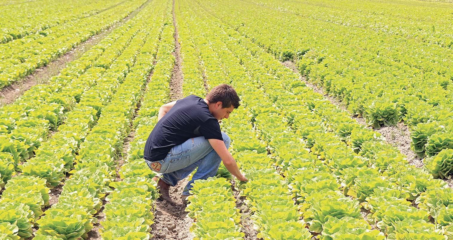 agricoltura campo lattuga agricoltore