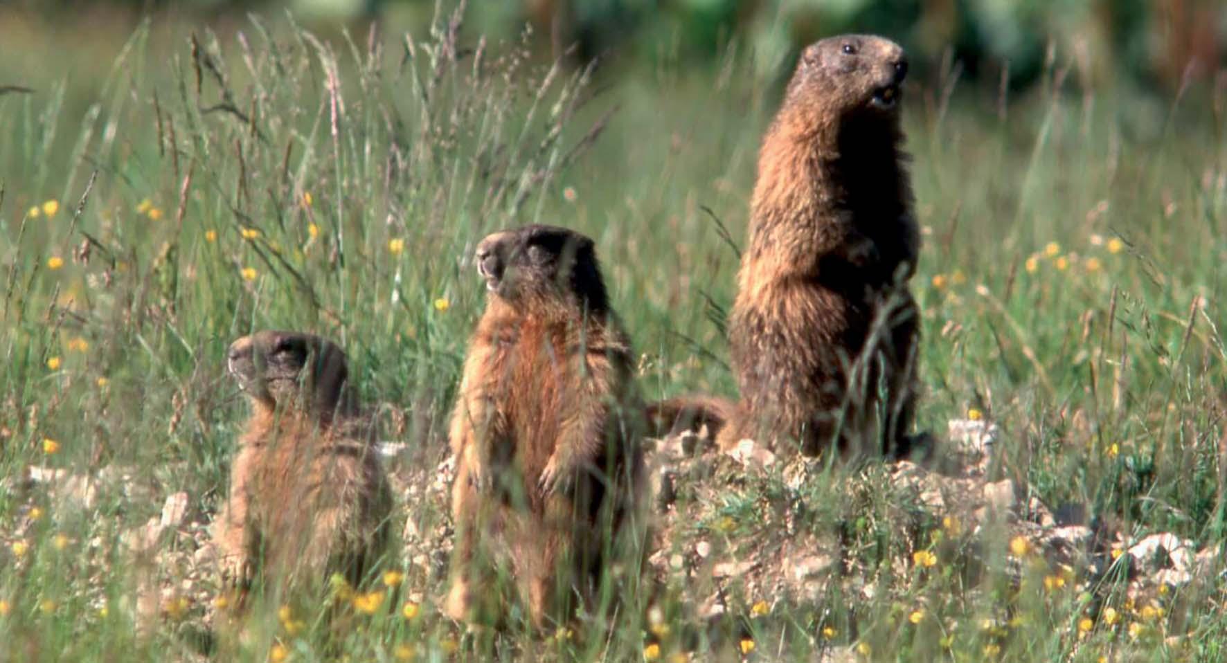 specie protette Friuli parco prealpi giulie Marmotte