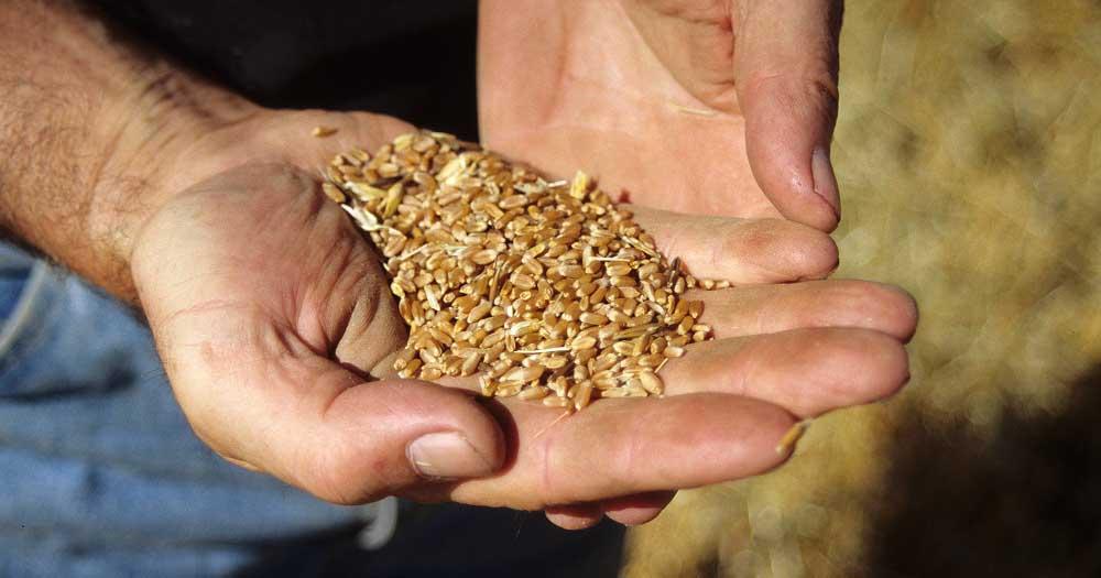 Associazioni agricole: troppo basso il prezzo del grano a ...
