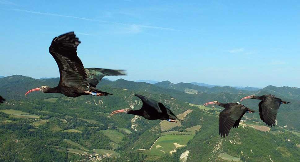 waldrappteam migrazione ibis austria italia 2016 1
