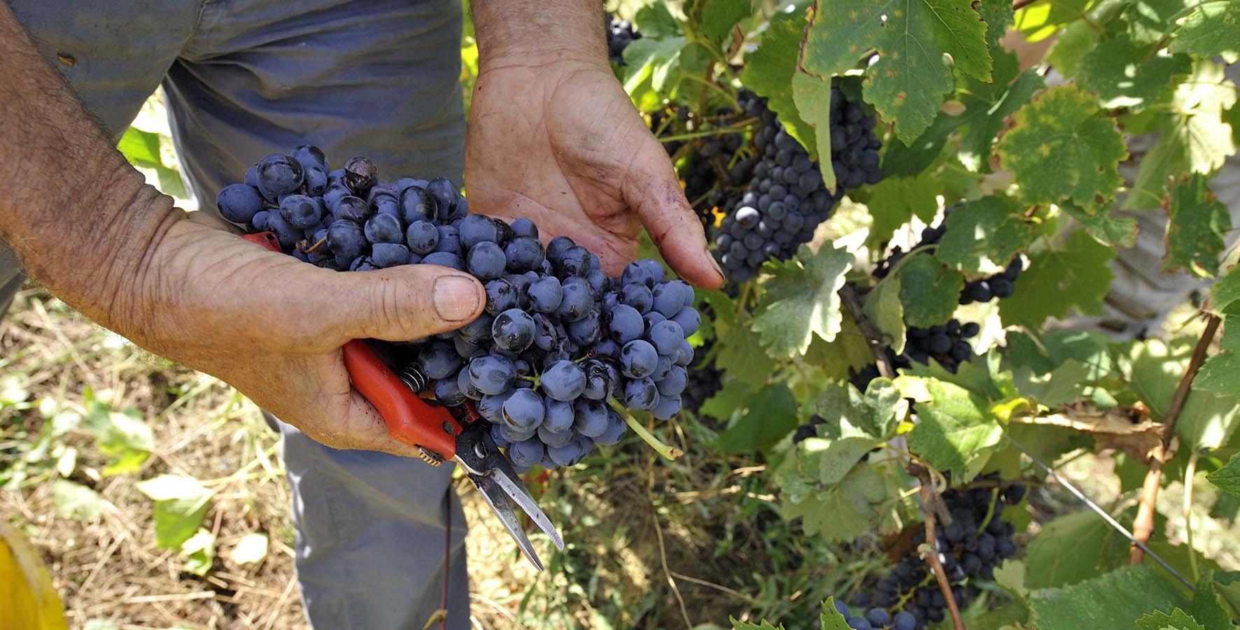 Azienda agricola La Stroppa vendemmia grappolo uva nera