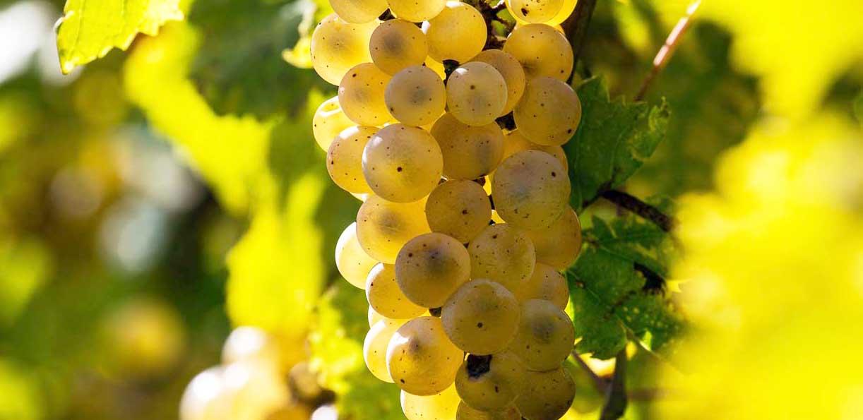 tecnologie 4.0 ribolla gialla grappolo uva