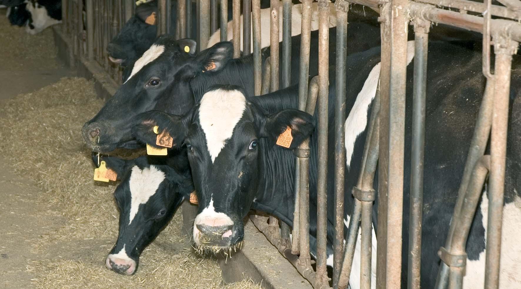 liquidità per le imprese Agriturismo mantova allevamento mucche2