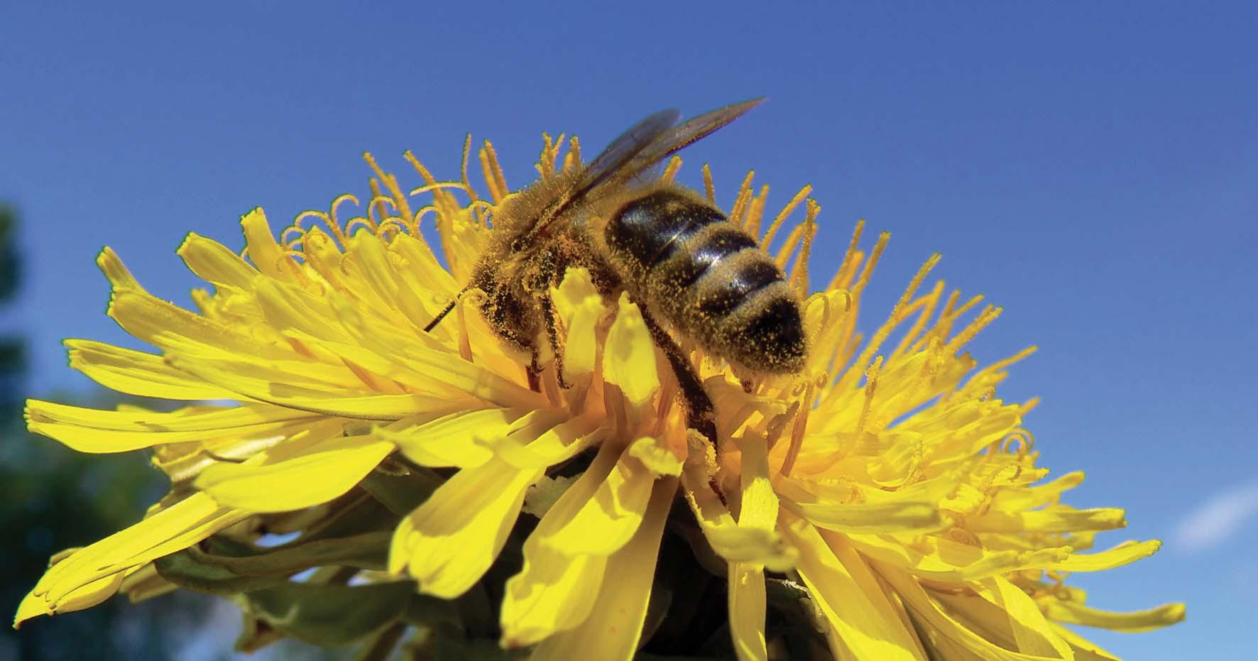 apicoltura ape su fiore impollinazione