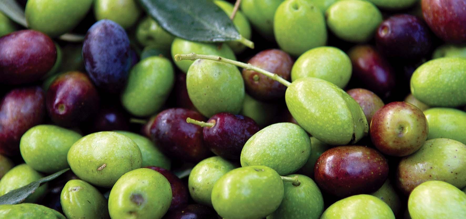 CCIAA TN olio di oliva olive raccolte
