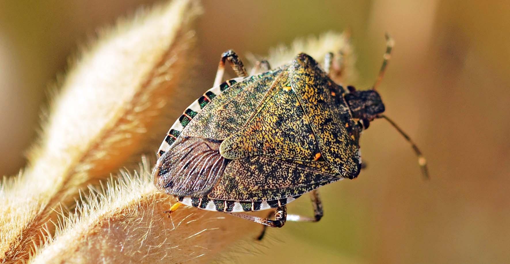 Cimice asiatica Halyomorpha halys