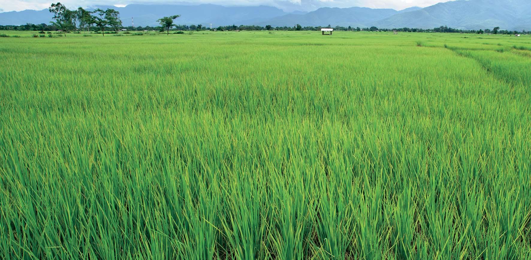 piante riso FbySh 2
