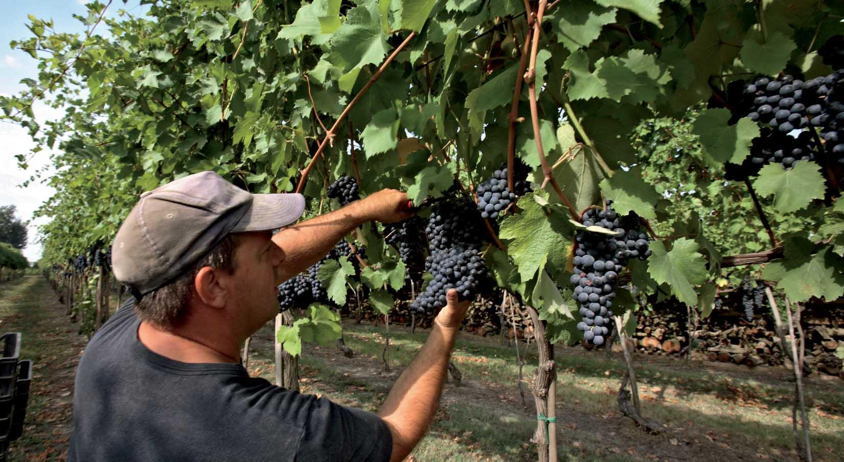 vendemmia vigna uva nera