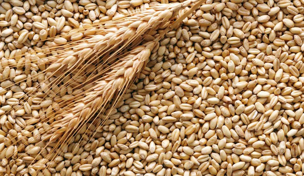 cerealicoltura italiana grano e spighe