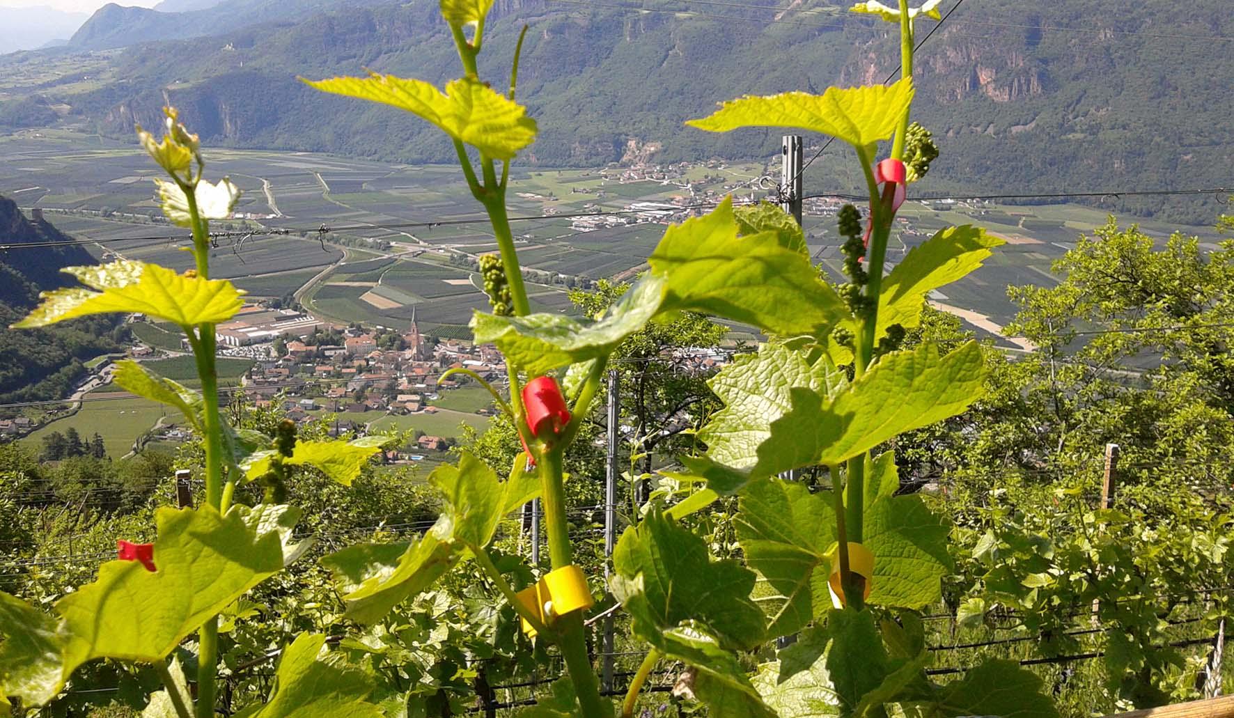 Alto Adige impianto Pinot Bianco Terlano