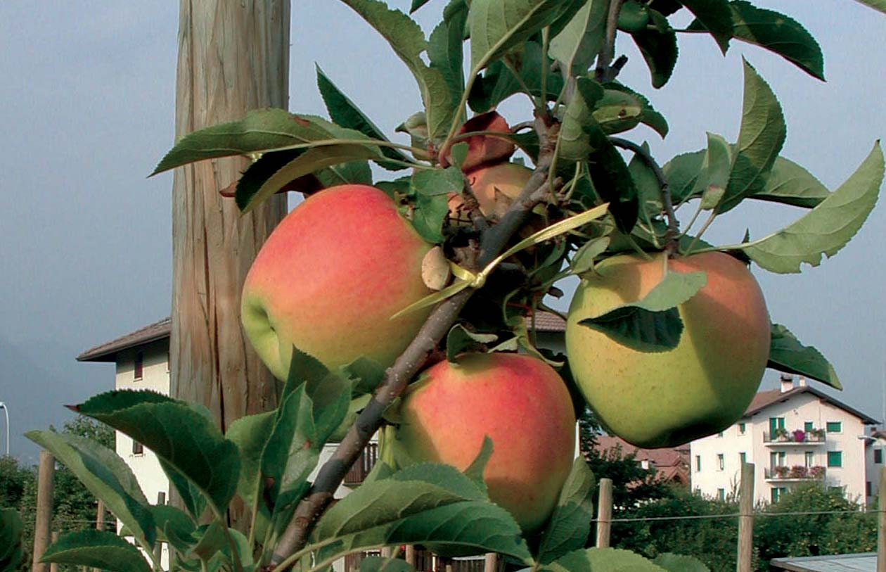 Iasma mela varietà Golden Delicious cl.B MM.4.02