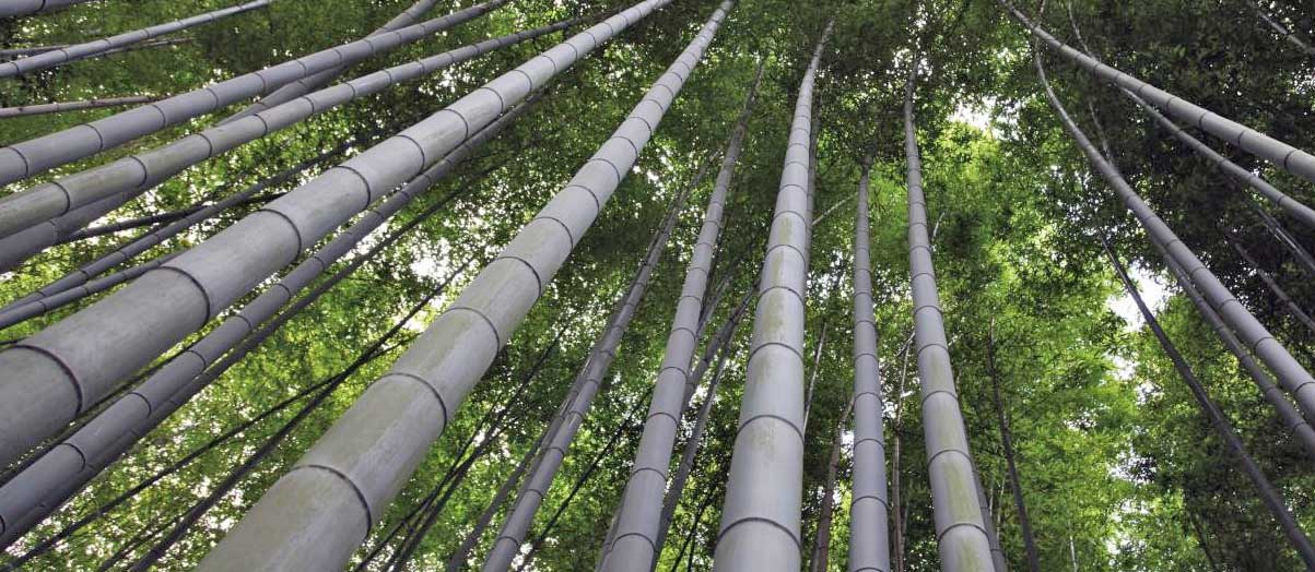 bamboo piantagione