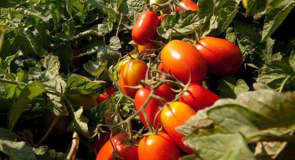 consorzio casalasco popodoro pomì pomodoro in campo 2