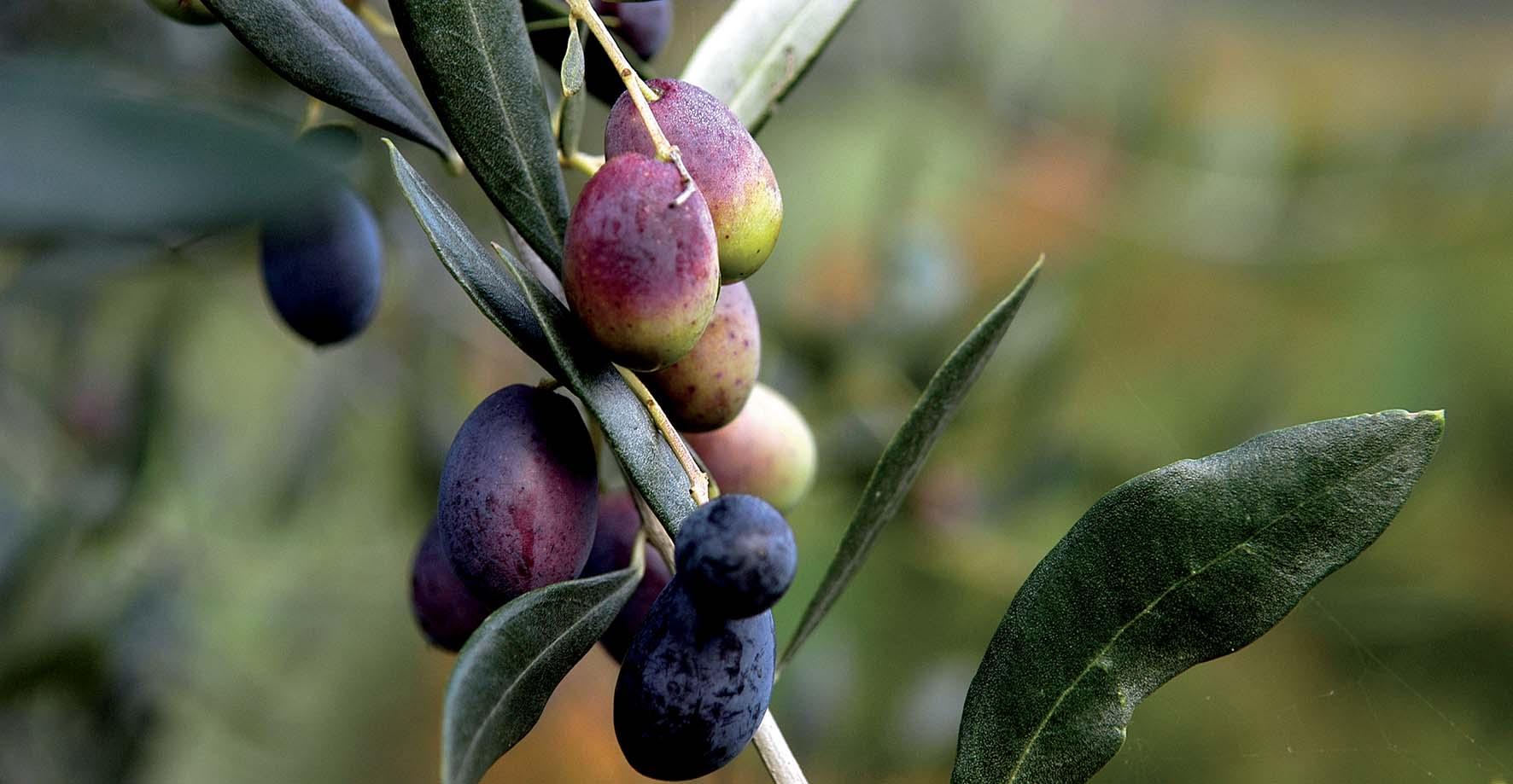 CCIAA TN Olio garda trentino ramo olive