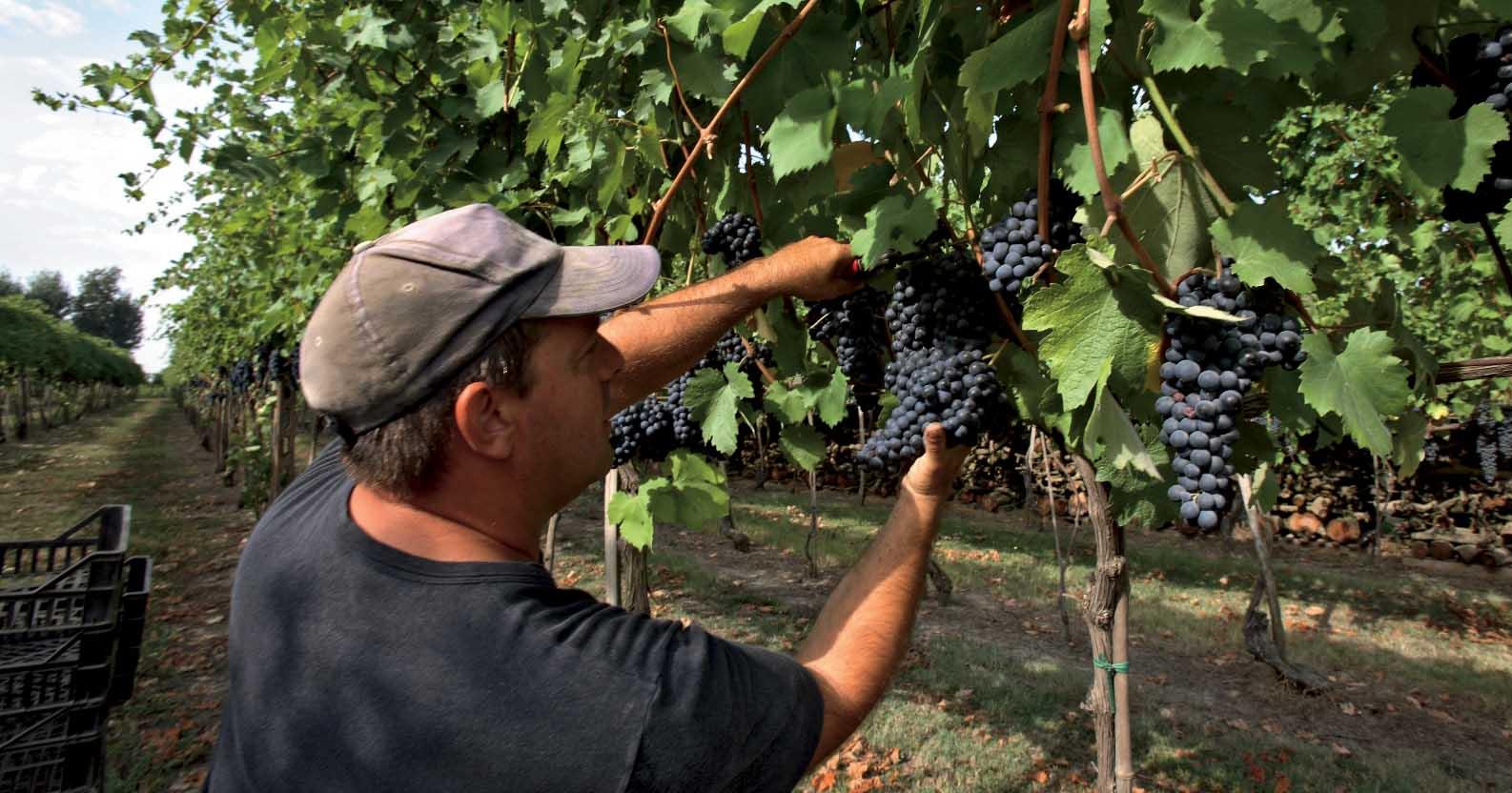 Enoteca Emilia Romagna vendemmia vigna uva nera