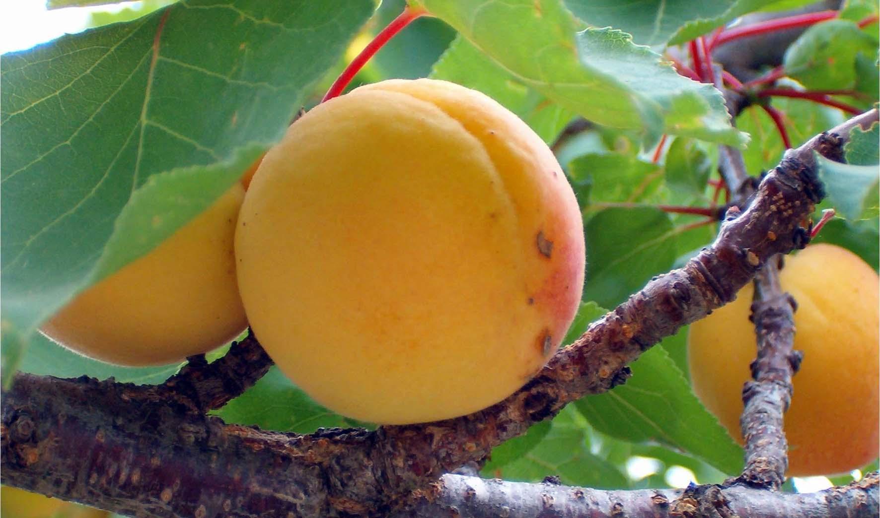 frutteto albicocche 2