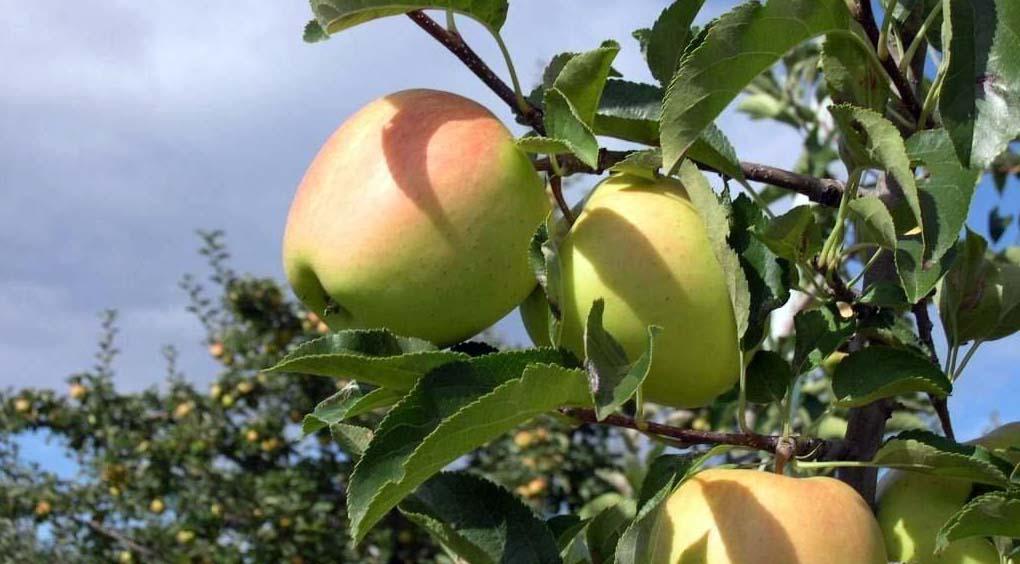 """Mele del Trentino"" Igp melinda e la trentina mele prognosfruit"