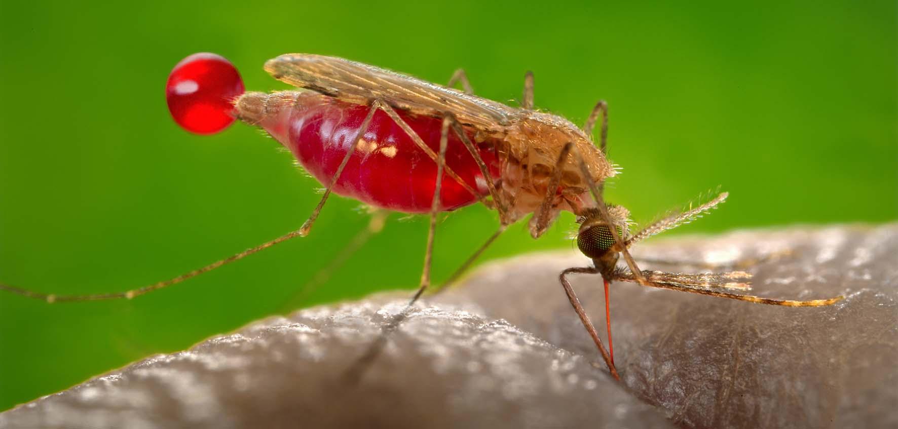 Zanzare Anopheles Gambiae malaria