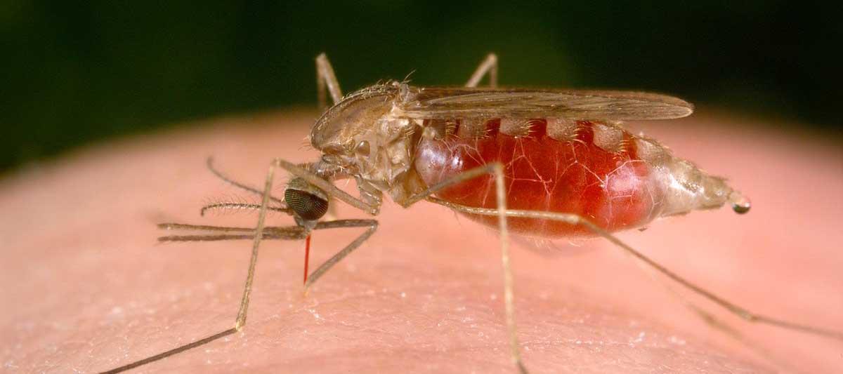 zanzara pancia sangue
