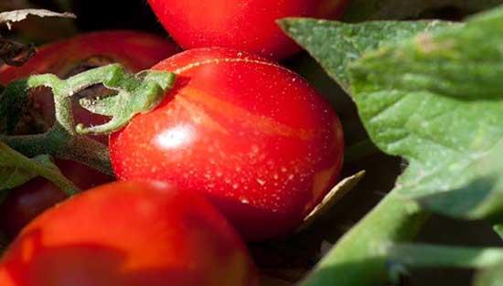 consorzio casalasco popodoro pomì pomodoro in campo 1