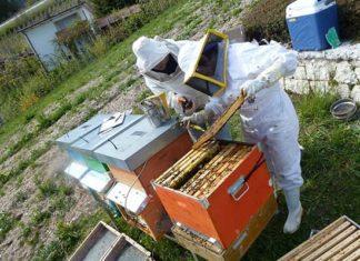 apicoltura Api fem