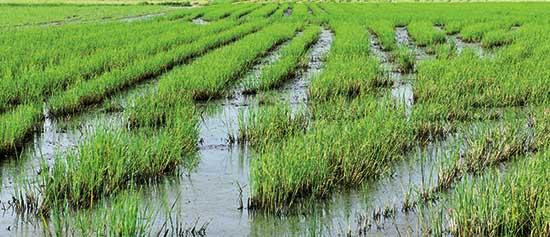 riso del delta del po risaia piante riso FbySh