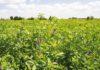 importazione di erba medica