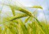 mappato il genoma del grano tenero