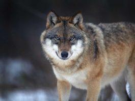 caccia a lupi e orsi