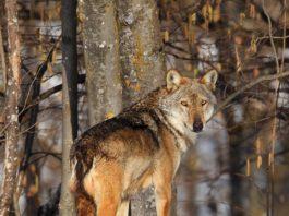danni da presenza del lupo