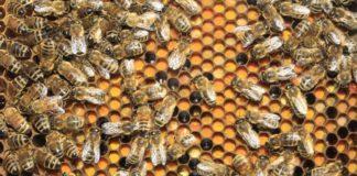 salute delle api
