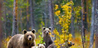 cucciolate di orso