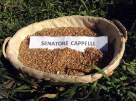 grano senatore cappelli